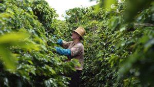 Desmatamento e aquecimento global ameaçam 60% das variedades de café no mundo