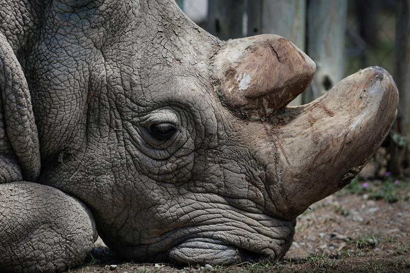 Sudão, último rinoceronte branco macho no mundo, morre no Quênia