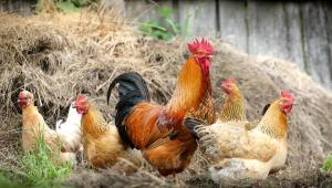 Taiwan sacrifica 7 mil frangos para deter surto de gripe aviária