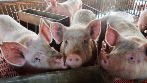 Cientistas fazem cérebro de porco morto voltar a funcionar