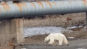 Ursa polar debilitada aparece em zona urbana a 800 km de seu habitat natural na Rússia