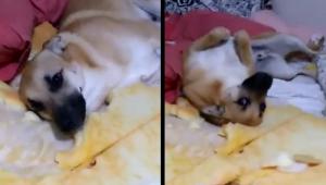 VÍDEO: Conheça Chico, o cachorro 'demônio' que destruiu tudo e deixou dona desesperada