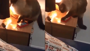 Gato Joaquim aprendeu a desligar o despertador para dona não ir trabalhar; assista