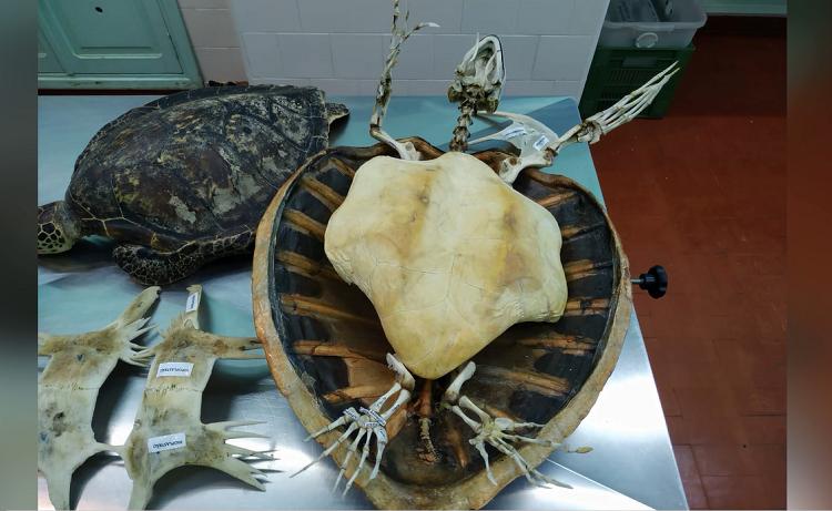 Poluição pode ser a causa de novo osso em tartarugas marinhas, aponta pesquisa brasileira