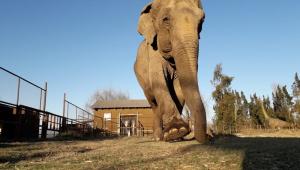 Elefanta maltratada por 45 anos deve chegar nesta sexta em santuário no MT